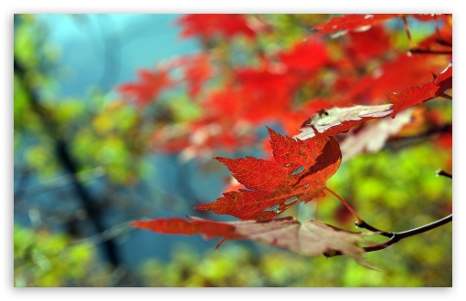 Red Foliage, Autumn HD wallpaper for Wide 16:10 5:3 Widescreen WHXGA WQXGA WUXGA WXGA WGA ; HD 16:9 High Definition WQHD QWXGA 1080p 900p 720p QHD nHD ; Standard 4:3 5:4 3:2 Fullscreen UXGA XGA SVGA QSXGA SXGA DVGA HVGA HQVGA devices ( Apple PowerBook G4 iPhone 4 3G 3GS iPod Touch ) ; Tablet 1:1 ; iPad 1/2/Mini ; Mobile 4:3 5:3 3:2 16:9 5:4 - UXGA XGA SVGA WGA DVGA HVGA HQVGA devices ( Apple PowerBook G4 iPhone 4 3G 3GS iPod Touch ) WQHD QWXGA 1080p 900p 720p QHD nHD QSXGA SXGA ; Dual 16:10 5:3 16:9 4:3 5:4 WHXGA WQXGA WUXGA WXGA WGA WQHD QWXGA 1080p 900p 720p QHD nHD UXGA XGA SVGA QSXGA SXGA ;