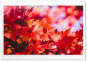 Red Foliage, Fall HD Wide Wallpaper for 4K UHD Widescreen desktop & smartphone