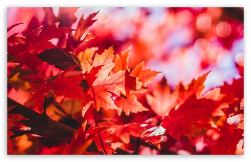 Red Foliage, Fall HD wallpaper for Wide 16:10 5:3 Widescreen WHXGA WQXGA WUXGA WXGA WGA ; UltraWide 21:9 24:10 ; HD 16:9 High Definition WQHD QWXGA 1080p 900p 720p QHD nHD ; UHD 16:9 WQHD QWXGA 1080p 900p 720p QHD nHD ; Standard 4:3 5:4 3:2 Fullscreen UXGA XGA SVGA QSXGA SXGA DVGA HVGA HQVGA devices ( Apple PowerBook G4 iPhone 4 3G 3GS iPod Touch ) ; Smartphone 16:9 3:2 5:3 WQHD QWXGA 1080p 900p 720p QHD nHD DVGA HVGA HQVGA devices ( Apple PowerBook G4 iPhone 4 3G 3GS iPod Touch ) WGA ; Tablet 1:1 ; iPad 1/2/Mini ; Mobile 4:3 5:3 3:2 16:9 5:4 - UXGA XGA SVGA WGA DVGA HVGA HQVGA devices ( Apple PowerBook G4 iPhone 4 3G 3GS iPod Touch ) WQHD QWXGA 1080p 900p 720p QHD nHD QSXGA SXGA ; Dual 16:10 5:3 16:9 4:3 5:4 3:2 WHXGA WQXGA WUXGA WXGA WGA WQHD QWXGA 1080p 900p 720p QHD nHD UXGA XGA SVGA QSXGA SXGA DVGA HVGA HQVGA devices ( Apple PowerBook G4 iPhone 4 3G 3GS iPod Touch ) ; Triple 16:10 5:3 16:9 4:3 5:4 3:2 WHXGA WQXGA WUXGA WXGA WGA WQHD QWXGA 1080p 900p 720p QHD nHD UXGA XGA SVGA QSXGA SXGA DVGA HVGA HQVGA devices ( Apple PowerBook G4 iPhone 4 3G 3GS iPod Touch ) ;