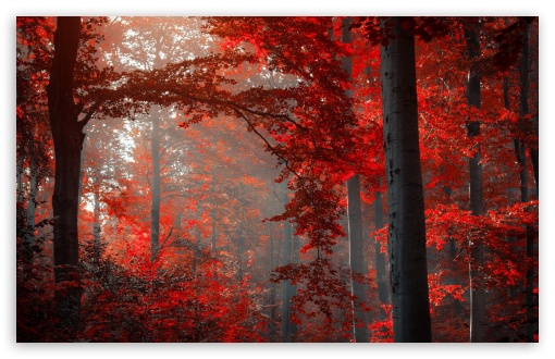 Red Forest HD wallpaper for Wide 16:10 5:3 Widescreen WHXGA WQXGA WUXGA WXGA WGA ; HD 16:9 High Definition WQHD QWXGA 1080p 900p 720p QHD nHD ; Standard 4:3 5:4 3:2 Fullscreen UXGA XGA SVGA QSXGA SXGA DVGA HVGA HQVGA devices ( Apple PowerBook G4 iPhone 4 3G 3GS iPod Touch ) ; Tablet 1:1 ; iPad 1/2/Mini ; Mobile 4:3 5:3 3:2 16:9 5:4 - UXGA XGA SVGA WGA DVGA HVGA HQVGA devices ( Apple PowerBook G4 iPhone 4 3G 3GS iPod Touch ) WQHD QWXGA 1080p 900p 720p QHD nHD QSXGA SXGA ;