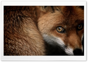 Red Fox HD Wide Wallpaper for Widescreen