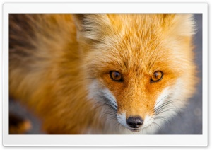 Red Fox Close-up HD Wide Wallpaper for Widescreen