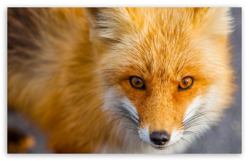 76 best images about nine-tales fox on Pinterest | Foxes, Fox art ...