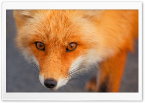 Red Fox Face HD Wide Wallpaper for Widescreen