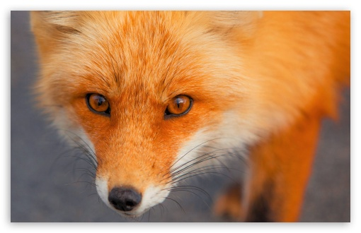 Red Fox Face ❤ 4K UHD Wallpaper for Wide 16:10 5:3 Widescreen WHXGA WQXGA WUXGA WXGA WGA ; 4K UHD 16:9 Ultra High Definition 2160p 1440p 1080p 900p 720p ; UHD 16:9 2160p 1440p 1080p 900p 720p ; Standard 4:3 5:4 3:2 Fullscreen UXGA XGA SVGA QSXGA SXGA DVGA HVGA HQVGA ( Apple PowerBook G4 iPhone 4 3G 3GS iPod Touch ) ; Smartphone 5:3 WGA ; Tablet 1:1 ; iPad 1/2/Mini ; Mobile 4:3 5:3 3:2 16:9 5:4 - UXGA XGA SVGA WGA DVGA HVGA HQVGA ( Apple PowerBook G4 iPhone 4 3G 3GS iPod Touch ) 2160p 1440p 1080p 900p 720p QSXGA SXGA ;