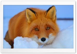 Red Fox lying in Snow Ultra HD Wallpaper for 4K UHD Widescreen desktop, tablet & smartphone