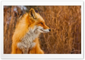 Red Fox Profile HD Wide Wallpaper for Widescreen