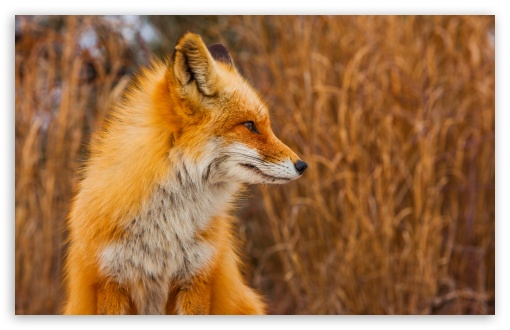 Red Fox Profile ❤ 4K UHD Wallpaper for Wide 16:10 5:3 Widescreen WHXGA WQXGA WUXGA WXGA WGA ; 4K UHD 16:9 Ultra High Definition 2160p 1440p 1080p 900p 720p ; UHD 16:9 2160p 1440p 1080p 900p 720p ; Standard 4:3 5:4 3:2 Fullscreen UXGA XGA SVGA QSXGA SXGA DVGA HVGA HQVGA ( Apple PowerBook G4 iPhone 4 3G 3GS iPod Touch ) ; Tablet 1:1 ; iPad 1/2/Mini ; Mobile 4:3 5:3 3:2 16:9 5:4 - UXGA XGA SVGA WGA DVGA HVGA HQVGA ( Apple PowerBook G4 iPhone 4 3G 3GS iPod Touch ) 2160p 1440p 1080p 900p 720p QSXGA SXGA ;