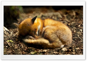 Red Fox Sleeping HD Wide Wallpaper for Widescreen