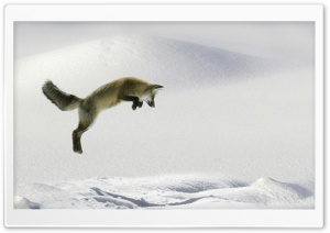 Red Fox Vulpes Fulva Leaping For Vole HD Wide Wallpaper for Widescreen