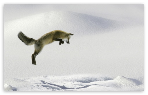 Red Fox Vulpes Fulva Leaping For Vole HD wallpaper for Wide 16:10 5:3 Widescreen WHXGA WQXGA WUXGA WXGA WGA ; HD 16:9 High Definition WQHD QWXGA 1080p 900p 720p QHD nHD ; Standard 4:3 5:4 3:2 Fullscreen UXGA XGA SVGA QSXGA SXGA DVGA HVGA HQVGA devices ( Apple PowerBook G4 iPhone 4 3G 3GS iPod Touch ) ; Tablet 1:1 ; iPad 1/2/Mini ; Mobile 4:3 5:3 3:2 16:9 5:4 - UXGA XGA SVGA WGA DVGA HVGA HQVGA devices ( Apple PowerBook G4 iPhone 4 3G 3GS iPod Touch ) WQHD QWXGA 1080p 900p 720p QHD nHD QSXGA SXGA ;
