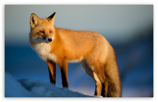 red fox winter wallpapers