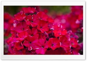 Red Garden Flowers HD Wide Wallpaper for Widescreen