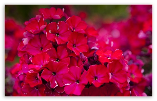 Red Garden Flowers HD wallpaper for Wide 16:10 5:3 Widescreen WHXGA WQXGA WUXGA WXGA WGA ; HD 16:9 High Definition WQHD QWXGA 1080p 900p 720p QHD nHD ; Standard 4:3 5:4 3:2 Fullscreen UXGA XGA SVGA QSXGA SXGA DVGA HVGA HQVGA devices ( Apple PowerBook G4 iPhone 4 3G 3GS iPod Touch ) ; Tablet 1:1 ; iPad 1/2/Mini ; Mobile 4:3 5:3 3:2 16:9 5:4 - UXGA XGA SVGA WGA DVGA HVGA HQVGA devices ( Apple PowerBook G4 iPhone 4 3G 3GS iPod Touch ) WQHD QWXGA 1080p 900p 720p QHD nHD QSXGA SXGA ;