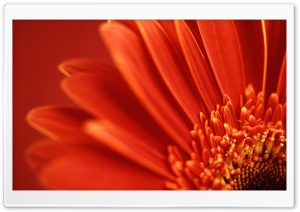 Red Gerbera HD Wide Wallpaper for 4K UHD Widescreen desktop & smartphone