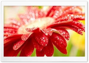 Red Gerbera HD Wide Wallpaper for 4K UHD Widescreen desktop & smartphone
