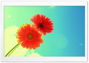 Red Gerbera HD Wide Wallpaper for Widescreen