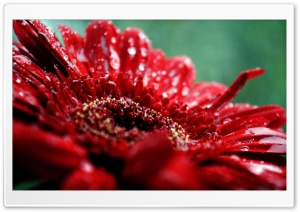 Red Gerbera Daisy Drops HD Wide Wallpaper for Widescreen