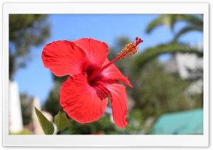 Red Hibiscus Flower Ultra HD Wallpaper for 4K UHD Widescreen desktop, tablet & smartphone