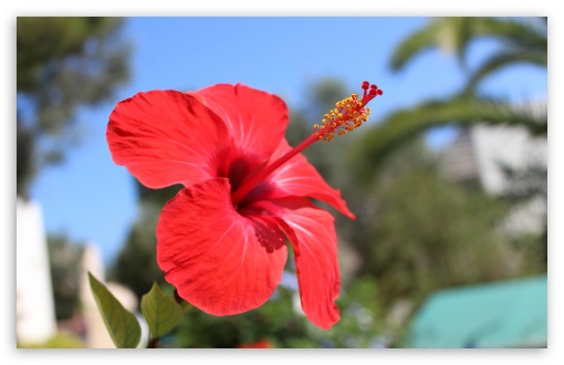 Red Hibiscus Flower ❤ 4K UHD Wallpaper for Wide 16:10 5:3 Widescreen WHXGA WQXGA WUXGA WXGA WGA ; 4K UHD 16:9 Ultra High Definition 2160p 1440p 1080p 900p 720p ; UHD 16:9 2160p 1440p 1080p 900p 720p ; Standard 4:3 5:4 3:2 Fullscreen UXGA XGA SVGA QSXGA SXGA DVGA HVGA HQVGA ( Apple PowerBook G4 iPhone 4 3G 3GS iPod Touch ) ; Tablet 1:1 ; iPad 1/2/Mini ; Mobile 4:3 5:3 3:2 16:9 5:4 - UXGA XGA SVGA WGA DVGA HVGA HQVGA ( Apple PowerBook G4 iPhone 4 3G 3GS iPod Touch ) 2160p 1440p 1080p 900p 720p QSXGA SXGA ;