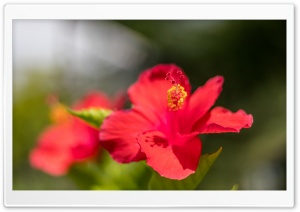 Red Hibiscus Flower HD Wide Wallpaper for 4K UHD Widescreen desktop & smartphone