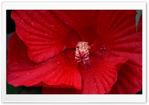 Red Hibiscus Flower Macro HD Wide Wallpaper for Widescreen