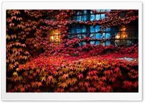 Red Ivy, Lights, House, Window, Autumn Ultra HD Wallpaper for 4K UHD Widescreen desktop, tablet & smartphone