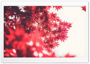 Red Japanese Maple HD Wide Wallpaper for Widescreen