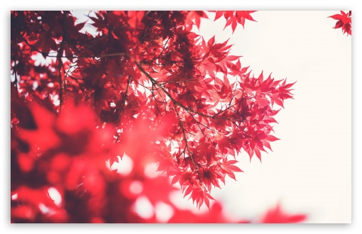 Red Japanese Maple ❤ 4K UHD Wallpaper for Wide 16:10 5:3 Widescreen WHXGA WQXGA WUXGA WXGA WGA ; 4K UHD 16:9 Ultra High Definition 2160p 1440p 1080p 900p 720p ; UHD 16:9 2160p 1440p 1080p 900p 720p ; Standard 4:3 5:4 3:2 Fullscreen UXGA XGA SVGA QSXGA SXGA DVGA HVGA HQVGA ( Apple PowerBook G4 iPhone 4 3G 3GS iPod Touch ) ; Smartphone 5:3 WGA ; Tablet 1:1 ; iPad 1/2/Mini ; Mobile 4:3 5:3 3:2 16:9 5:4 - UXGA XGA SVGA WGA DVGA HVGA HQVGA ( Apple PowerBook G4 iPhone 4 3G 3GS iPod Touch ) 2160p 1440p 1080p 900p 720p QSXGA SXGA ; Dual 16:10 5:3 16:9 4:3 5:4 WHXGA WQXGA WUXGA WXGA WGA 2160p 1440p 1080p 900p 720p UXGA XGA SVGA QSXGA SXGA ;