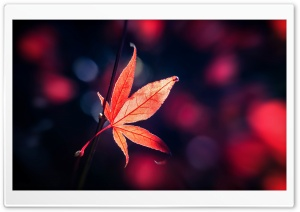 Red Japanese Maple Leaf Fall HD Wide Wallpaper for Widescreen