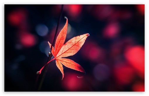 Red Japanese Maple Leaf Fall ❤ 4K UHD Wallpaper for Wide 16:10 5:3 Widescreen WHXGA WQXGA WUXGA WXGA WGA ; UltraWide 21:9 24:10 ; 4K UHD 16:9 Ultra High Definition 2160p 1440p 1080p 900p 720p ; UHD 16:9 2160p 1440p 1080p 900p 720p ; Standard 4:3 5:4 3:2 Fullscreen UXGA XGA SVGA QSXGA SXGA DVGA HVGA HQVGA ( Apple PowerBook G4 iPhone 4 3G 3GS iPod Touch ) ; Smartphone 16:9 3:2 5:3 2160p 1440p 1080p 900p 720p DVGA HVGA HQVGA ( Apple PowerBook G4 iPhone 4 3G 3GS iPod Touch ) WGA ; Tablet 1:1 ; iPad 1/2/Mini ; Mobile 4:3 5:3 3:2 16:9 5:4 - UXGA XGA SVGA WGA DVGA HVGA HQVGA ( Apple PowerBook G4 iPhone 4 3G 3GS iPod Touch ) 2160p 1440p 1080p 900p 720p QSXGA SXGA ;