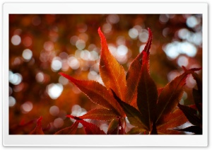 Red Japanese Maple Leaves HD Wide Wallpaper for 4K UHD Widescreen desktop & smartphone