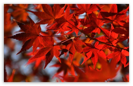 Red Japanese Maple Leaves ❤ 4K UHD Wallpaper for Wide 16:10 5:3 Widescreen WHXGA WQXGA WUXGA WXGA WGA ; 4K UHD 16:9 Ultra High Definition 2160p 1440p 1080p 900p 720p ; Standard 4:3 5:4 3:2 Fullscreen UXGA XGA SVGA QSXGA SXGA DVGA HVGA HQVGA ( Apple PowerBook G4 iPhone 4 3G 3GS iPod Touch ) ; Smartphone 5:3 WGA ; Tablet 1:1 ; iPad 1/2/Mini ; Mobile 4:3 5:3 3:2 16:9 5:4 - UXGA XGA SVGA WGA DVGA HVGA HQVGA ( Apple PowerBook G4 iPhone 4 3G 3GS iPod Touch ) 2160p 1440p 1080p 900p 720p QSXGA SXGA ;