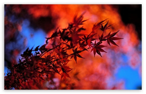 Red Japanese Maple Leaves ❤ 4K UHD Wallpaper for Wide 16:10 5:3 Widescreen WHXGA WQXGA WUXGA WXGA WGA ; 4K UHD 16:9 Ultra High Definition 2160p 1440p 1080p 900p 720p ; Standard 4:3 5:4 3:2 Fullscreen UXGA XGA SVGA QSXGA SXGA DVGA HVGA HQVGA ( Apple PowerBook G4 iPhone 4 3G 3GS iPod Touch ) ; Tablet 1:1 ; iPad 1/2/Mini ; Mobile 4:3 5:3 3:2 16:9 5:4 - UXGA XGA SVGA WGA DVGA HVGA HQVGA ( Apple PowerBook G4 iPhone 4 3G 3GS iPod Touch ) 2160p 1440p 1080p 900p 720p QSXGA SXGA ;