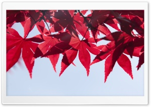 Red Japanese Maple Leaves, Fall HD Wide Wallpaper for Widescreen