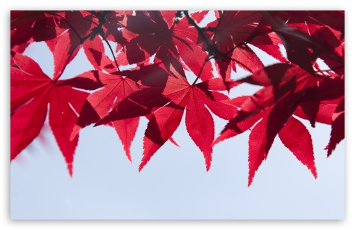 Red Japanese Maple Leaves, Fall UltraHD Wallpaper for Wide 16:10 5:3 Widescreen WHXGA WQXGA WUXGA WXGA WGA ; UltraWide 21:9 ; 8K UHD TV 16:9 Ultra High Definition 2160p 1440p 1080p 900p 720p ; Standard 4:3 5:4 3:2 Fullscreen UXGA XGA SVGA QSXGA SXGA DVGA HVGA HQVGA ( Apple PowerBook G4 iPhone 4 3G 3GS iPod Touch ) ; Smartphone 16:9 3:2 5:3 2160p 1440p 1080p 900p 720p DVGA HVGA HQVGA ( Apple PowerBook G4 iPhone 4 3G 3GS iPod Touch ) WGA ; Tablet 1:1 ; iPad 1/2/Mini ; Mobile 4:3 5:3 3:2 16:9 5:4 - UXGA XGA SVGA WGA DVGA HVGA HQVGA ( Apple PowerBook G4 iPhone 4 3G 3GS iPod Touch ) 2160p 1440p 1080p 900p 720p QSXGA SXGA ; Dual 16:10 5:3 16:9 4:3 5:4 3:2 WHXGA WQXGA WUXGA WXGA WGA 2160p 1440p 1080p 900p 720p UXGA XGA SVGA QSXGA SXGA DVGA HVGA HQVGA ( Apple PowerBook G4 iPhone 4 3G 3GS iPod Touch ) ;