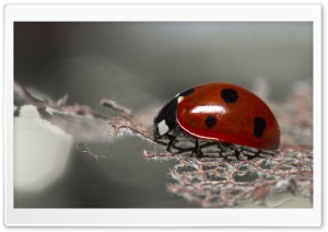 Red Ladybug Macro HD Wide Wallpaper for 4K UHD Widescreen desktop & smartphone