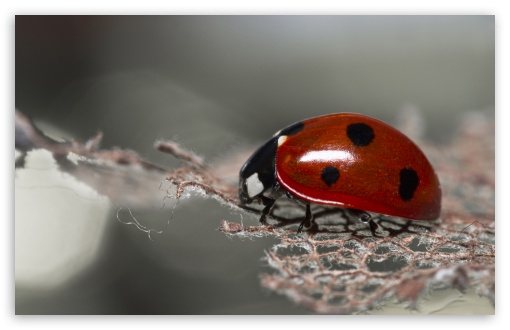 Red Ladybug Macro HD wallpaper for Wide 16:10 5:3 Widescreen WHXGA WQXGA WUXGA WXGA WGA ; HD 16:9 High Definition WQHD QWXGA 1080p 900p 720p QHD nHD ; UHD 16:9 WQHD QWXGA 1080p 900p 720p QHD nHD ; Standard 4:3 5:4 3:2 Fullscreen UXGA XGA SVGA QSXGA SXGA DVGA HVGA HQVGA devices ( Apple PowerBook G4 iPhone 4 3G 3GS iPod Touch ) ; Tablet 1:1 ; iPad 1/2/Mini ; Mobile 4:3 5:3 3:2 16:9 5:4 - UXGA XGA SVGA WGA DVGA HVGA HQVGA devices ( Apple PowerBook G4 iPhone 4 3G 3GS iPod Touch ) WQHD QWXGA 1080p 900p 720p QHD nHD QSXGA SXGA ; Dual 16:10 5:3 4:3 5:4 WHXGA WQXGA WUXGA WXGA WGA UXGA XGA SVGA QSXGA SXGA ;