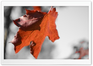 Red Leaf HD Wide Wallpaper for Widescreen