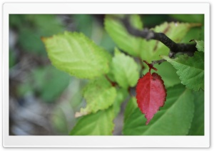 Red Leaf Among Green Ultra HD Wallpaper for 4K UHD Widescreen desktop, tablet & smartphone