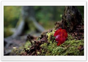 Red Leaf, Autumn HD Wide Wallpaper for Widescreen