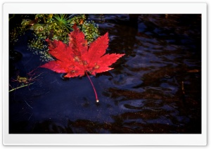 Red Leaf Floating in Water HD Wide Wallpaper for Widescreen