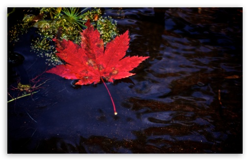 Red Leaf Floating in Water ❤ 4K UHD Wallpaper for Wide 16:10 5:3 Widescreen WHXGA WQXGA WUXGA WXGA WGA ; 4K UHD 16:9 Ultra High Definition 2160p 1440p 1080p 900p 720p ; Standard 4:3 5:4 3:2 Fullscreen UXGA XGA SVGA QSXGA SXGA DVGA HVGA HQVGA ( Apple PowerBook G4 iPhone 4 3G 3GS iPod Touch ) ; Tablet 1:1 ; iPad 1/2/Mini ; Mobile 4:3 5:3 3:2 16:9 5:4 - UXGA XGA SVGA WGA DVGA HVGA HQVGA ( Apple PowerBook G4 iPhone 4 3G 3GS iPod Touch ) 2160p 1440p 1080p 900p 720p QSXGA SXGA ; Dual 16:10 5:3 4:3 5:4 WHXGA WQXGA WUXGA WXGA WGA UXGA XGA SVGA QSXGA SXGA ;