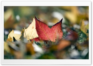 Red Leaf Macro HD Wide Wallpaper for Widescreen