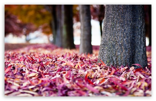 Red Leaves HD wallpaper for Wide 16:10 5:3 Widescreen WHXGA WQXGA WUXGA WXGA WGA ; HD 16:9 High Definition WQHD QWXGA 1080p 900p 720p QHD nHD ; Standard 4:3 5:4 3:2 Fullscreen UXGA XGA SVGA QSXGA SXGA DVGA HVGA HQVGA devices ( Apple PowerBook G4 iPhone 4 3G 3GS iPod Touch ) ; Tablet 1:1 ; iPad 1/2/Mini ; Mobile 4:3 5:3 3:2 16:9 5:4 - UXGA XGA SVGA WGA DVGA HVGA HQVGA devices ( Apple PowerBook G4 iPhone 4 3G 3GS iPod Touch ) WQHD QWXGA 1080p 900p 720p QHD nHD QSXGA SXGA ;