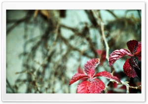 Red Leaves HD Wide Wallpaper for Widescreen