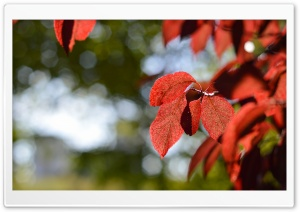 Red Leaves Ultra HD Wallpaper for 4K UHD Widescreen desktop, tablet & smartphone