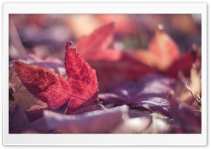 Red Leaves, Autumn HD Wide Wallpaper for Widescreen