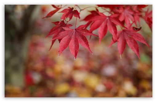 Red Leaves Bokeh HD wallpaper for Wide 16:10 5:3 Widescreen WHXGA WQXGA WUXGA WXGA WGA ; HD 16:9 High Definition WQHD QWXGA 1080p 900p 720p QHD nHD ; Standard 4:3 5:4 3:2 Fullscreen UXGA XGA SVGA QSXGA SXGA DVGA HVGA HQVGA devices ( Apple PowerBook G4 iPhone 4 3G 3GS iPod Touch ) ; Tablet 1:1 ; iPad 1/2/Mini ; Mobile 4:3 5:3 3:2 16:9 5:4 - UXGA XGA SVGA WGA DVGA HVGA HQVGA devices ( Apple PowerBook G4 iPhone 4 3G 3GS iPod Touch ) WQHD QWXGA 1080p 900p 720p QHD nHD QSXGA SXGA ; Dual 16:10 5:3 16:9 4:3 5:4 WHXGA WQXGA WUXGA WXGA WGA WQHD QWXGA 1080p 900p 720p QHD nHD UXGA XGA SVGA QSXGA SXGA ;