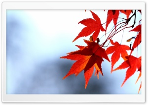 Red Leaves, Bokeh HD Wide Wallpaper for Widescreen